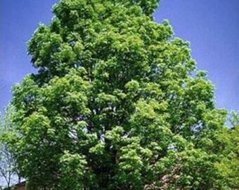 100 Green Ash Tree Seeds, Fraxinus Pennsylvanica