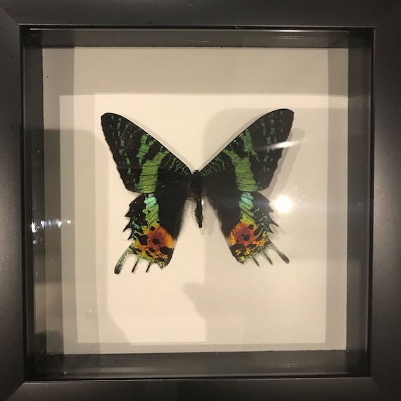 Real female sunset moth taxidermy display!