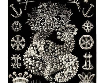 Ernst Haeckel's Vintage Artwork Thuroidea