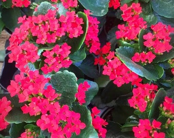 Cheery Red Kalanchoe Plants! Great Valentine's Day Gifts!
