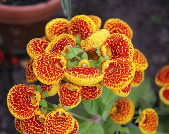 Calceolaria seeds, flower, code 532,orchid collection, gardening, flower seeds