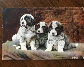 1913 Dog art postcard St. Bernard puppies