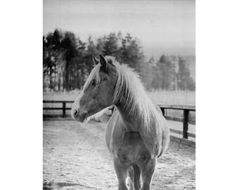 Black and White Horse Photography, Black and White Vintage Print, Horse Print, Animal Art Print, Horse Portrait