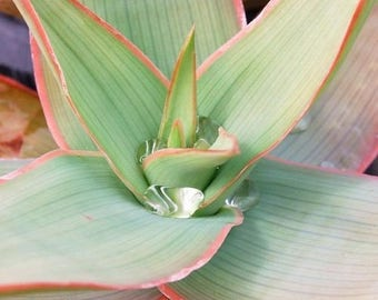 Coral Aloe Succulent Seeds (Aloe striata) 20+Seeds
