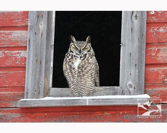 Great Horned Owl in Barn Window – Owl, Prairie, Wildlife, Nature, Photography, Home Décor, Wall Art, Picture, Print, Canvas – Alberta, CA