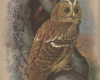 1965 beautiful   tawny owl  signed  print by basil ede vintage bird print antique wall decor.