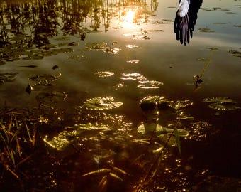 Woodstork flying towards sunset