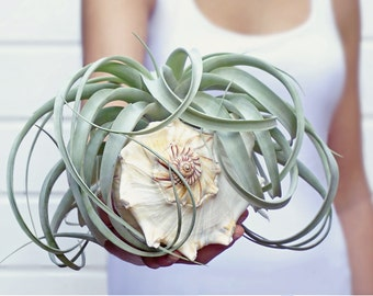 Xerographica with Giant Seashell | Tillandsia - Air Plant Design | Wedding Centerpiece | Coastal Homedecor