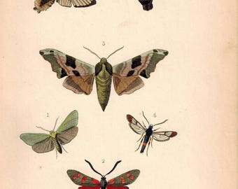 British Butterflies and Moths 1867 Print by Robinson Smerinthus Tiliae