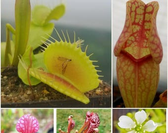 Bog beginner pack, live carnivorous plants, temperate collection