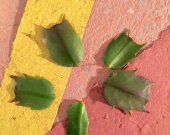 5-Leaf Christmas Cactus Bundle