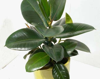 Rubber Tree Burgundy (Ficus elastica) Air Purifying Plant - Indoor or Outdoor - Easy Care