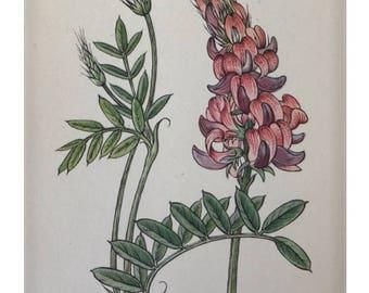 Botanical Print - Flowers of the Meadow - #11 Sainfoin