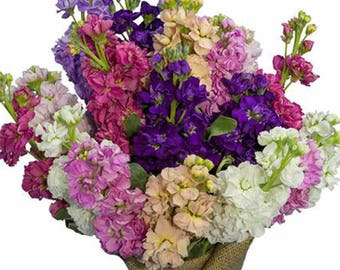 Fresh Matthiola Stock Bunches - Bulk Flower Fillers  (Free Shipping)