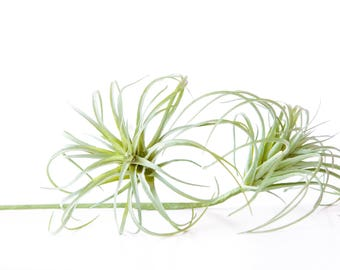 One Light Green Artificial Air Plant Tillandsia Succulent on Stem - Faux Succulent, Artificial Succulent, DIY Terrarium - ITEM 01126