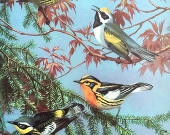 Warbler Bird Print ~Vintage Children's Print, Illustration, Book Plate ~Nursery decor ~ Walter Weber ~ Traveling with Birds 1933