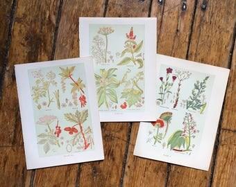 c. 1903 MEDICINAL PLANT PRINTS - antique botanical lithographs - botanical prints - botany flower print - herbal medicine print - set of 3
