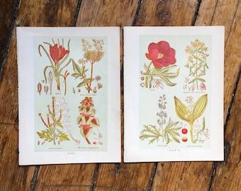 c. 1906 MEDICINAL PLANT PRINTS -  antique botanical prints - botanical lithographs - herbal medicine print - botany flower - set of 2