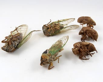 Imperfect Adult Cicadas plus Exoskeletons, Large Winged Insect, Big Creepy Bug Specimens