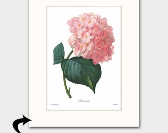 Hydrangea Art w/Mat (Mothers Day Gift, Pink Flower Illustration, Cottage Wall Decor) Matted Redoute Botanical Print