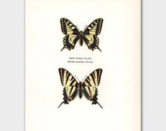"Butterfly Art Print (Vintage Farmhouse Decor, Country Chic Wall Art) --- ""Scarce Yellow Swallowtail"" No. 100-1"