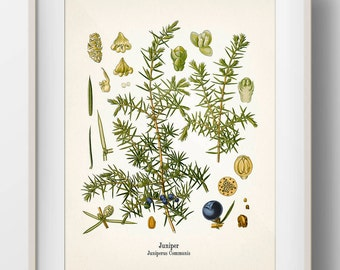 Vintage Juniper Botanical Print - KO-63 - Fine art print of an antique natural history botanical illustration