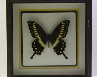 Vintage Taxidermy Butterfly - African -Papilio lormieri  central emperor swallowtail.