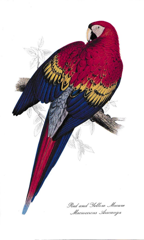 1940's print of parrot, Red and Yellow Macaw, reproduction of coloured lithograph by Edward Lear, red, blue, yellow feathered bird