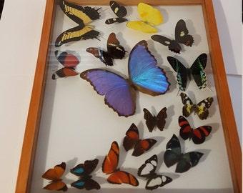 Wood frame 2 sided glass 17 butterflies