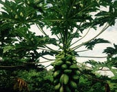 Papaya, Dwarf TR Hovey, Guarenteed to Fruit - 3 gal Live Plant - Naturally & Organically Grown - Quality Assured Permaculture Plant