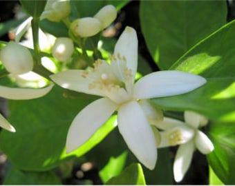 Neroli / Orange Blossom Distilled Flower Toner, Water, hydrosol