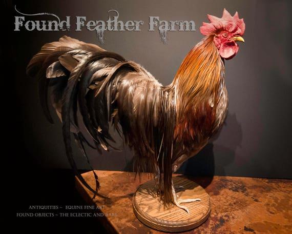 Superb Vintage Taxidermy Hackle Rooster Mount