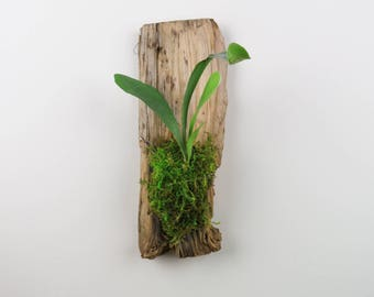 Staghorn Fern Mounted on Raw Wood