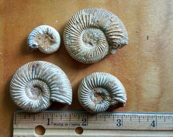 4 Ammonites