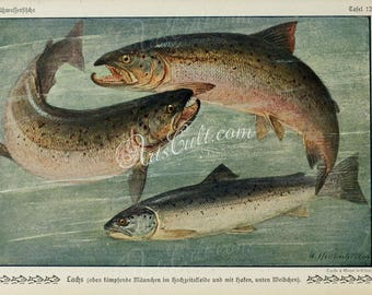 fishes-01154 - Atlantic Salmon Salmo salar 3 fishes vintage picture printable image ocean high resolution print graphics clipart book plate