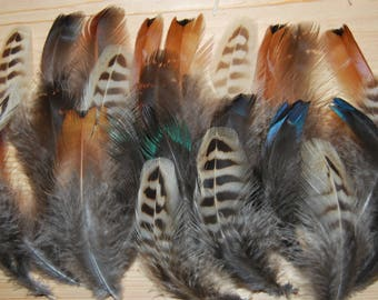 F41 - Lot/Set of natural feathers of pheasant /Pheasant - 24plumes-9/12cms-