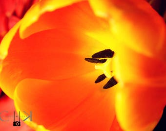 Tulip Orange - Tulip Flower Nature Photography, Fine Art, Wall Art, Home Decor, Digital Instant Download Print