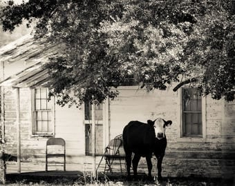 Cow on a Front Porch in Black and White