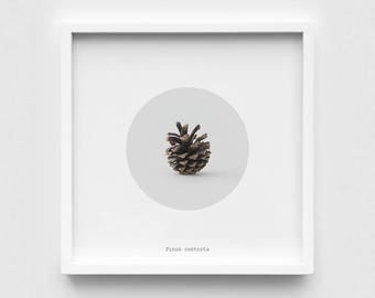 "Lodgepole Pine Cone | 8""x8"" Framed Fine Art Print"