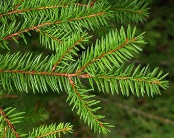 10 Picea abies Seeds. Norway spruce Seeds.