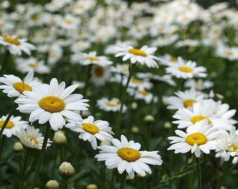 Wild White Daisy plants 10 starts, beautiful perennial wild flower, FREE USA Ship and world wide ship