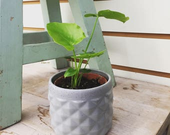 Philodendron Selloum 2""