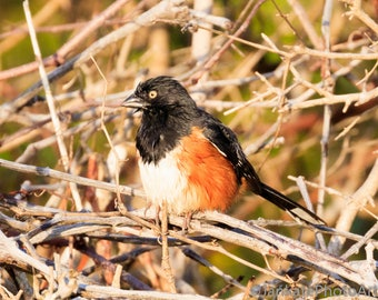 Rufus-sided Towhee bird, wildlife photography, photo print, canvas wrap, metal art print, spring, summer,  songbird, for bird lovers