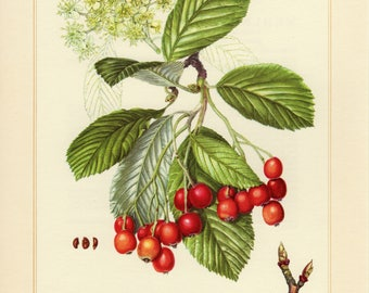 Vintage lithograph of whitebeam from 1958