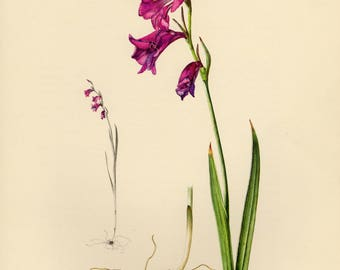 Vintage lithograph of the Marsh gladiolus or Sword lily from 1954