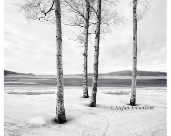 Fine art photography prints,black and white photography prints,landscape photography,nature photography,wall art,birches,snow,scandinavian