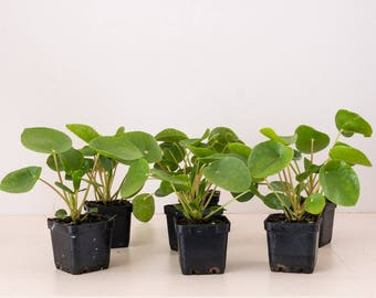 Large Pilea Peperomioides House plant - Chinese money plant - UFO plant - Rare plant