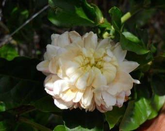 Jasmine sambac grand duke supreme