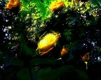 Neon yellow rose garden