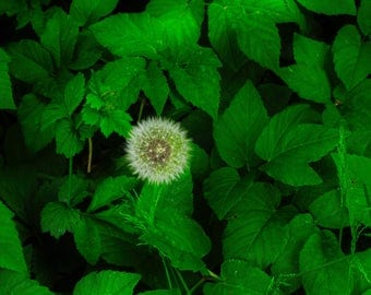 Dandelion and Leaves Photographic Print